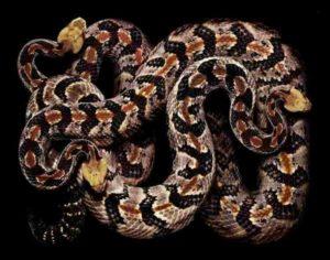 Хала-змеи