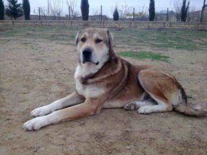 Собака-волкодав